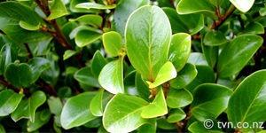 arbre-griselinia