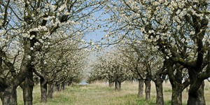 que-planter-en-septembre-arbre-fruitier-cerisier