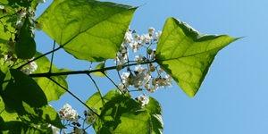 que-planter-en-septembre-arbre-ornement-chitalpa
