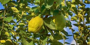 arbre-fruitier-cognassier