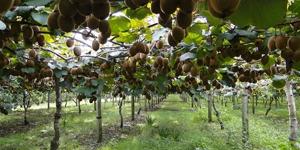 que-planter-en-septembre-arbre-fruitier-kiwi
