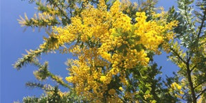 arbre-ornement-mimosa