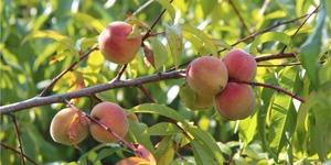 arbre-fruitier-pêcher
