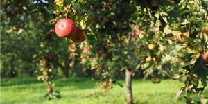arbre-fruitier-pommier