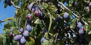 arbre-fruitier-prunier