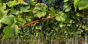 arbre-fruitier-vigne