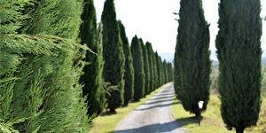 arbuste-cypres-de-leyland