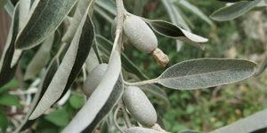 arbuste-elaeagnus
