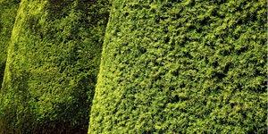 arbuste-if