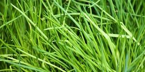que-planter-en-septembre-aromate-ciboulette
