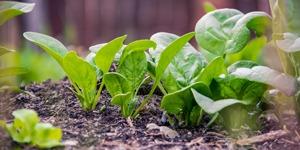 que-planter-en-septembre-épinard