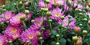 fleur-chrysanthème
